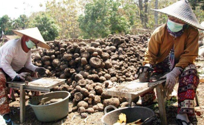 Harga Porang di Makassar Per Kilo Saat Ini