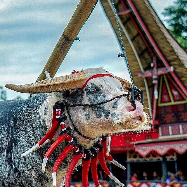 Tana Toraja Death Rituals