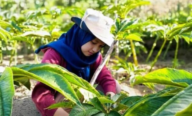 Harga Porang di Lampung